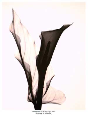 zandeschia-2-calla-lily-2002-reduced_web